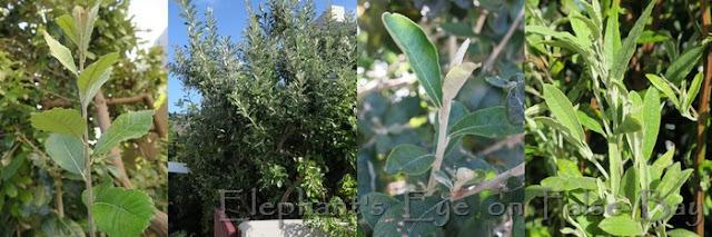 Brachylaena leaf and tree, Buddleja, Tarchonanthus