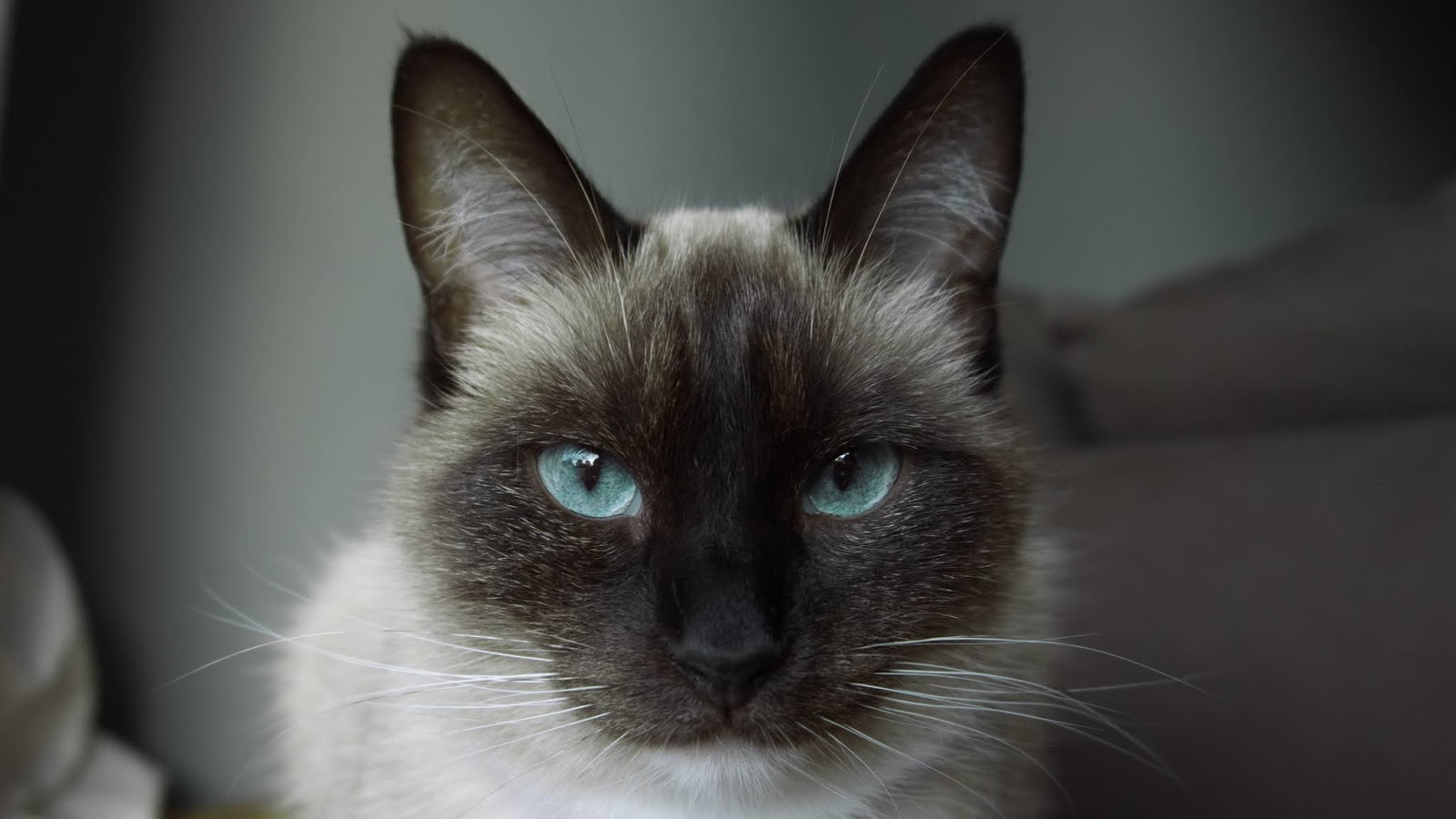 Close up photo of black and white Siamese cat,cat images