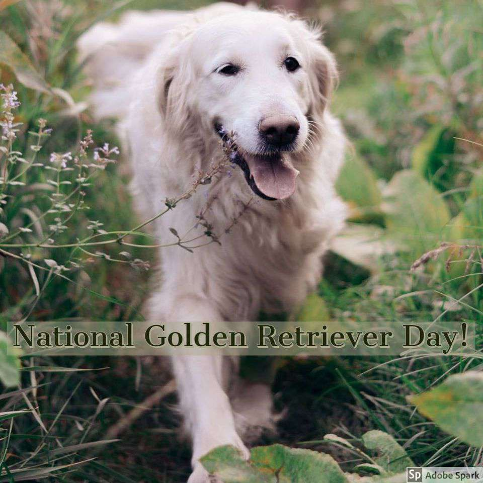 National Golden Retriever Day Wishes Photos