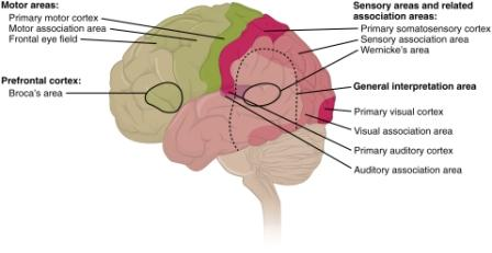 facts about the brain in Hindi