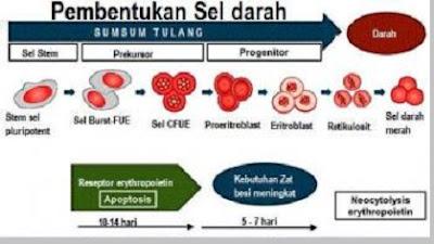 Proses Pembentukan Sel Darah Merah (Eritrosit) - berbagaireviews.com