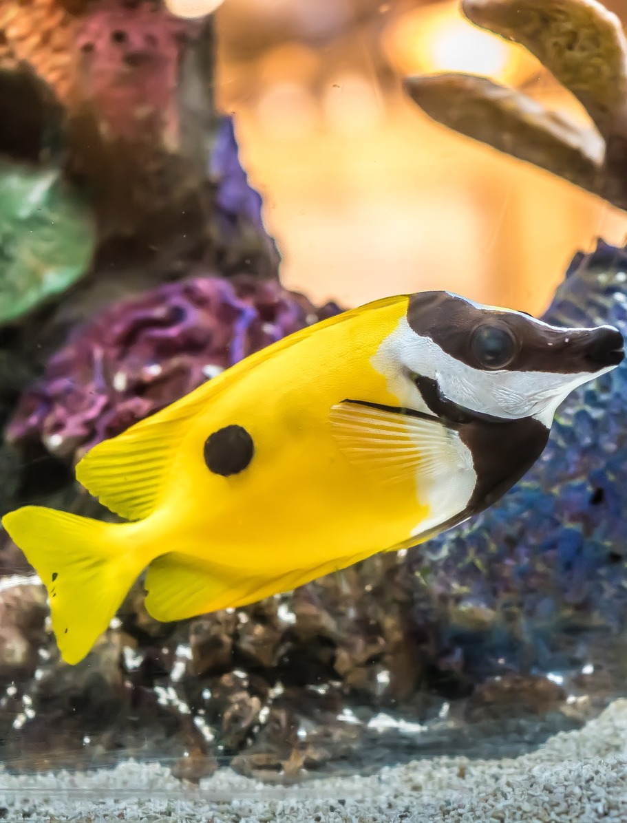 Picture of a foxface rabbitfish.