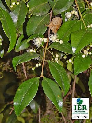 Gûili blanco (Myrcianthes pseudomato)