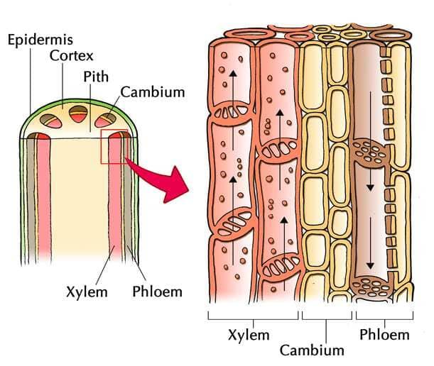 Struktur xilem dan floem dalam jaringan pada tumbuhan