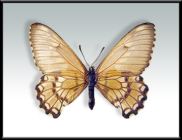 Mariposa aceitosa del litoral Euryades corethrus