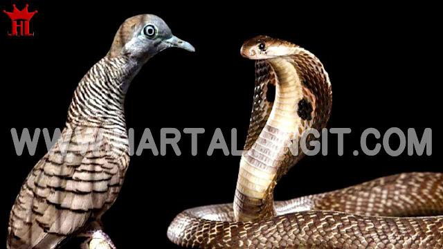 gambar perkutut katuranggan sriwiti dan ular kobra