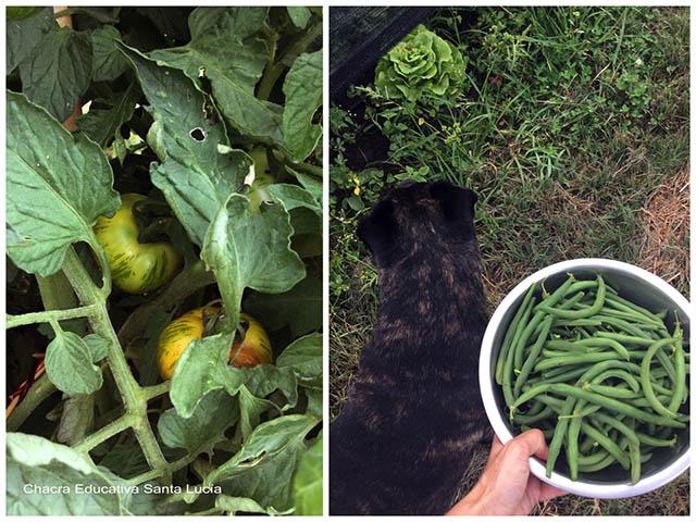 Tomates en la planta, chauchas cosechadas- Chacra Educativa Santa Lucía
