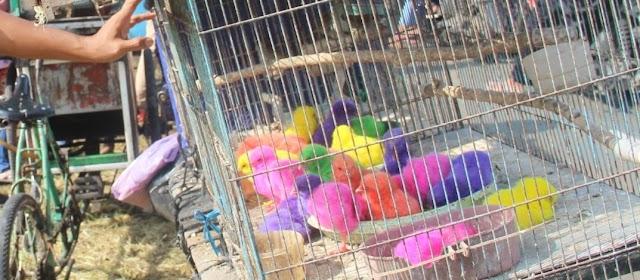 Anak Ayam Warna Warni Digemari Anak Sekolah Dasar
