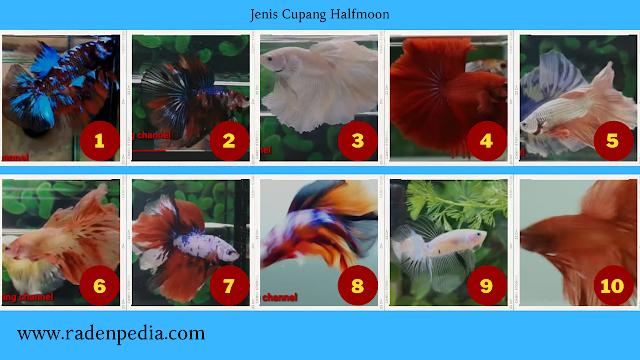 Mengenal Jenis Ikan Cupang Hias - radenpedia.com