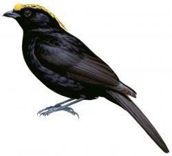 Archbold's Bowerbird