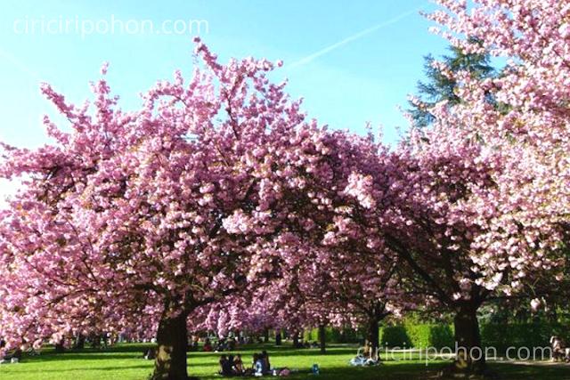 Ciri Ciri Pohon Wisata Sakura