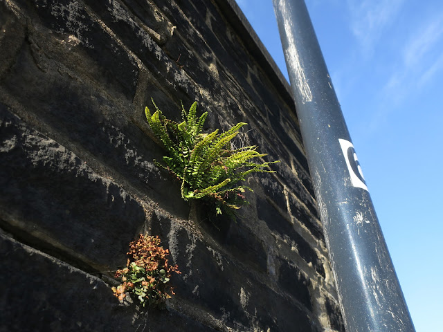 Spleenwort growing on the side of a wall with lampost number six