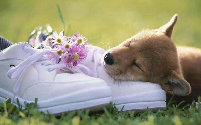 Slapende hond en een paar schoenen