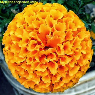 Marigold medicinal plant