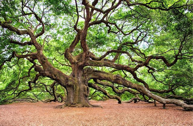Facts about Oak Trees, Facts of Oak Trees,ओक के पेड़ के बारे में रोचक तथ्य