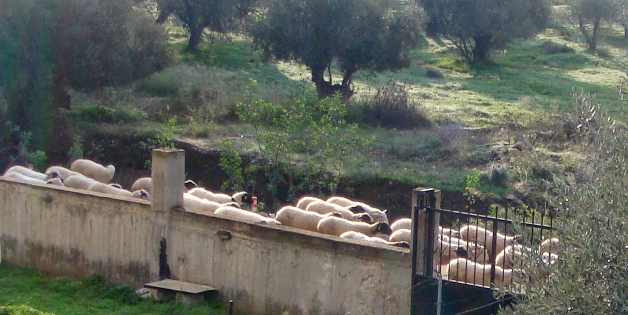 Sheep passing by our house