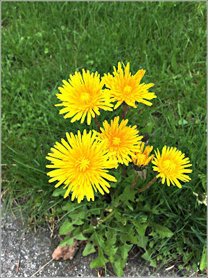 May 14, 2019 Surprised by the beauty of these dandelions