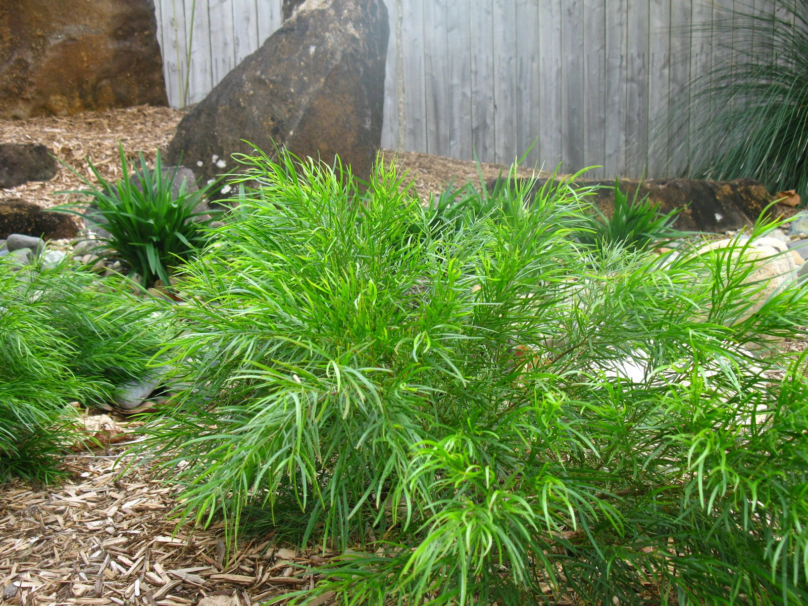 Gondwana Nursery Acacia Cognata Mini Cog Looking Fabulous In A