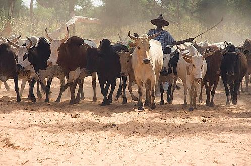 Herdsmen warn State Governors over Ruga, cattle colony