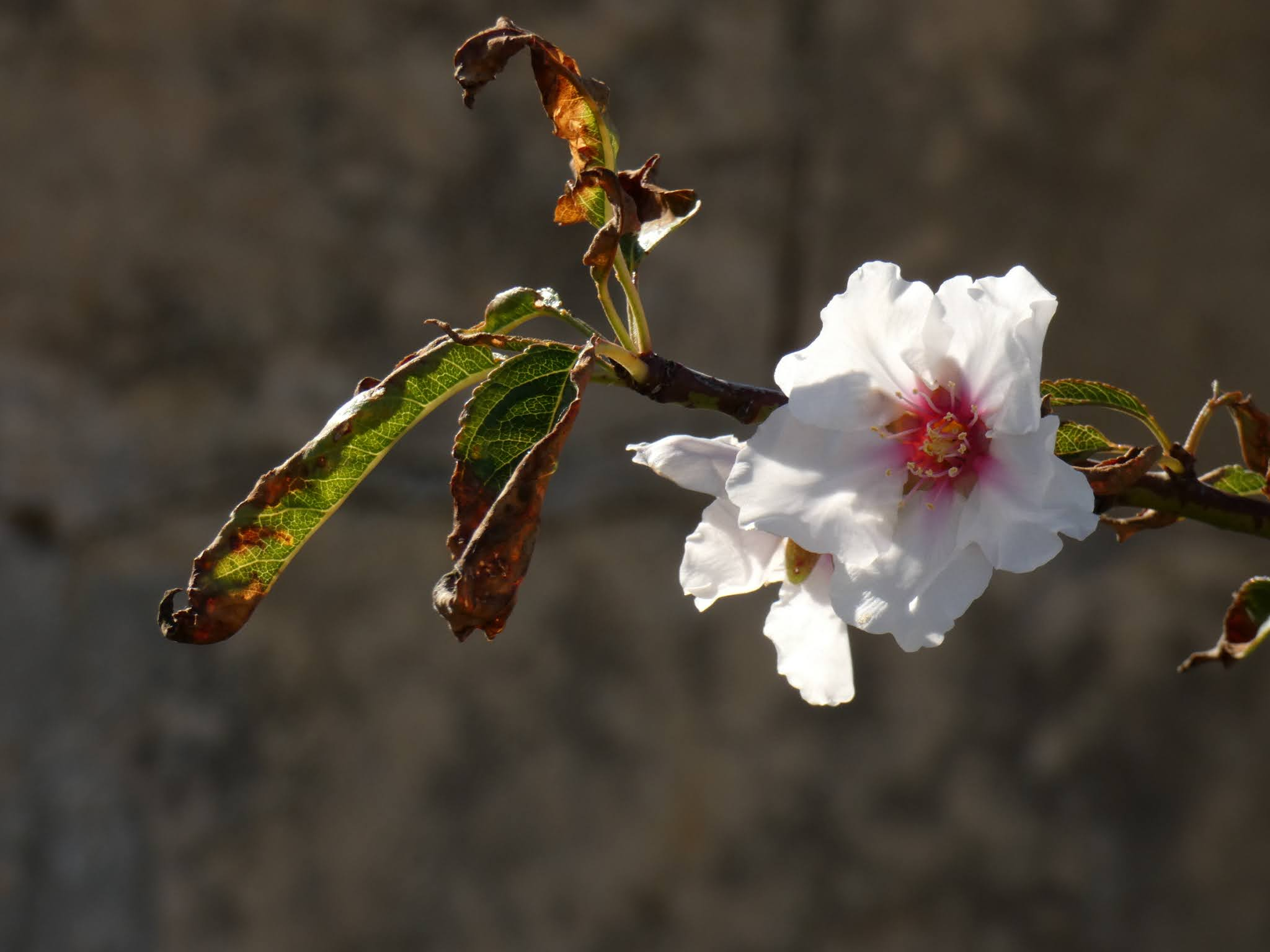 Sincerely Loree: Almond blossoms