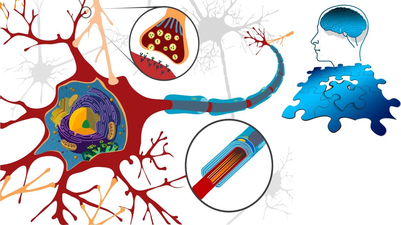 مما يتكون الدماغ، طبقات الدماغ،تشريح الدماغ،شكل الدماغ