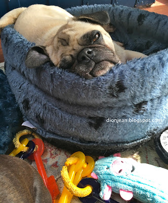 Liam the pug in his bed looking tired