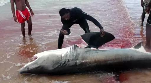 Shark Finning, Shark Fin Trading
