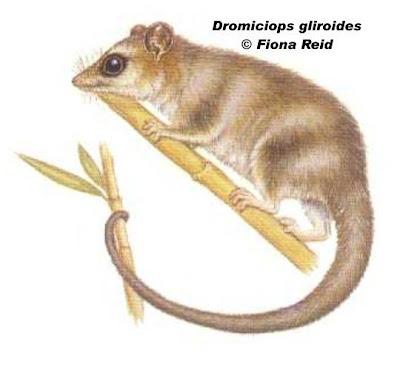 Monito del monte Dromiciops gliroides