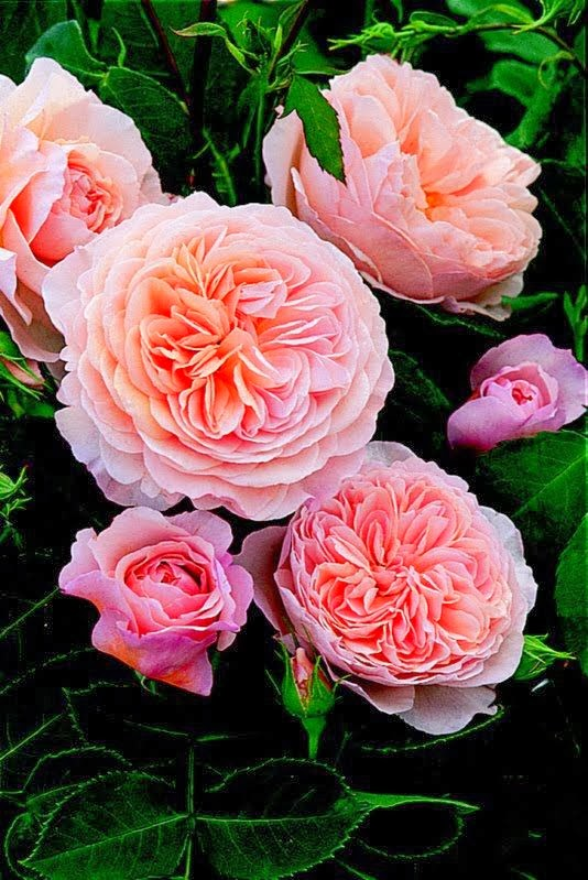 Your 10 Most Fragrant Roses