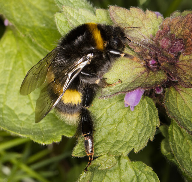 Bombus terrestris, Buff-tailed Bumblebee.   Queen.  West Wickham Common, 3 April 2016.