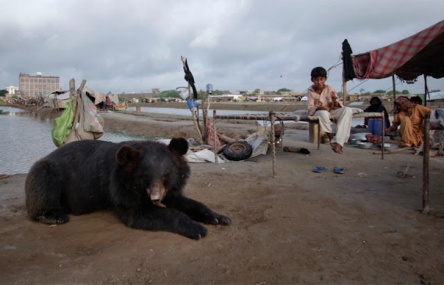 Saved by people during a severe flood in Pakistan, the bear got used to its saviors and became tame.
