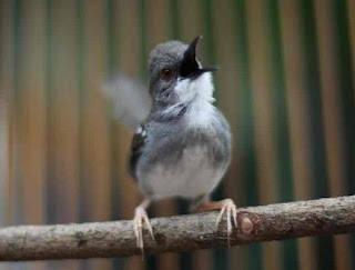 Burung Ciblek - Menyiapkan Burung Ciblek Ke Arena Lomba - Penangkaran Burung Ciblek
