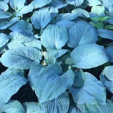 Bressingham Blue Hosta Powdery Blue Leaves