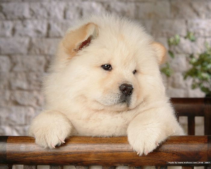 Our Beautiful World Chow Chow Dogs