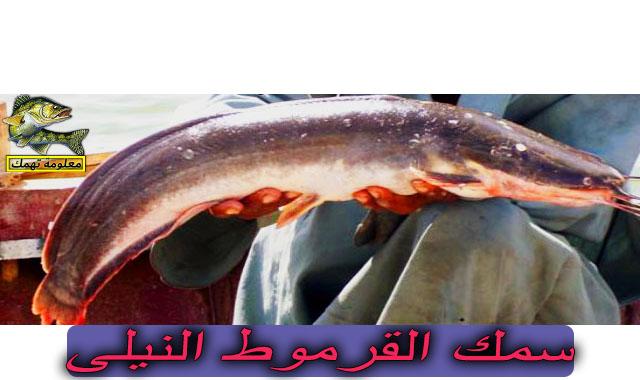 سمك القرموط النيلى