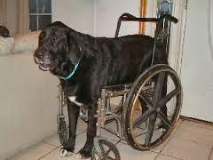 cão cadeirante de grande porte