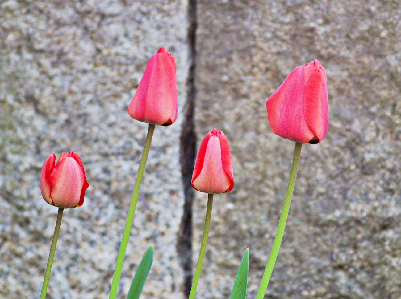 Vier Tulpen am Morgen