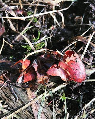 Tulppaanin sipunlin kuoret maassa