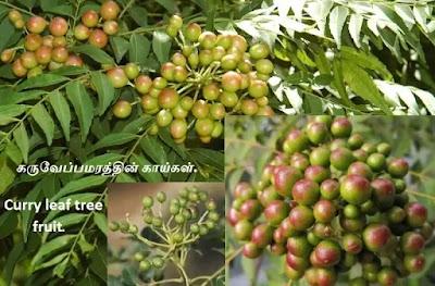 Curry leaf tree fruit
