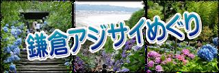 鎌倉のアジサイ