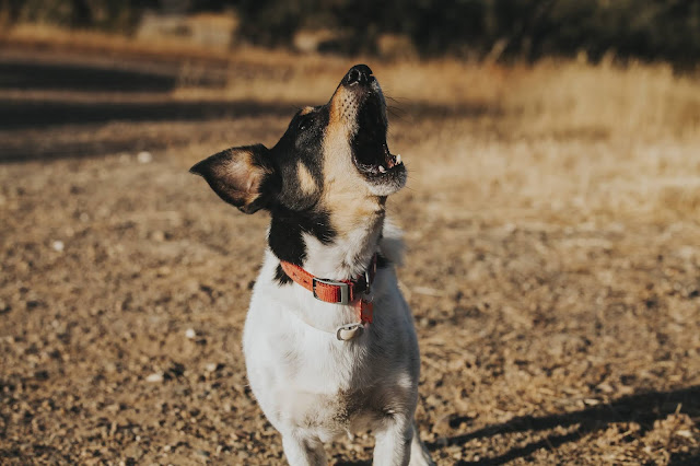 Why Is My Dog Howling? What Does It Mean When Your Dog Howls?