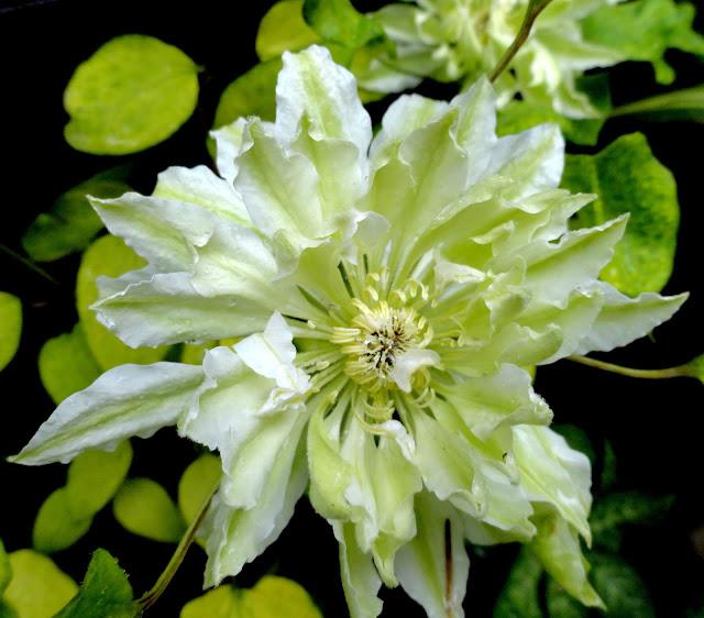 danger garden: Garden ... Euphorbia Amygdaloides Ruby Glow