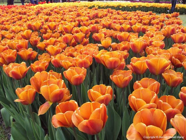 70 tysięcy tulipanów w Ogrodzie Botanicznym w Łodzi fot Dariusz Marek Gierej