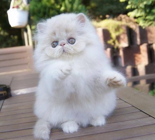 Harga Kucing Persia Umur 1 Tahun Harga Yos