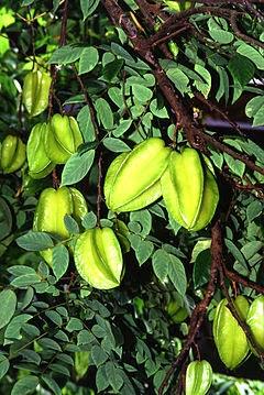 gambar dan manfaat buah belimbing wuluh