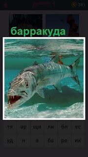 под водой плавает хищная рыба барракуда с открытой пастью