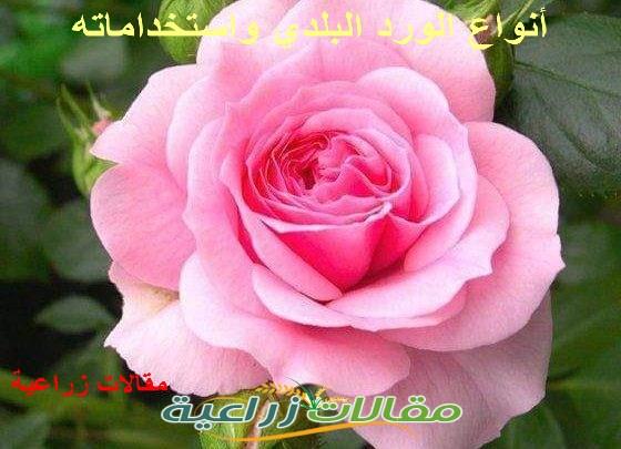 أنواع الورد البلدى وزراعته واستخداماته - مقالات زراعية