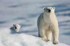 Kenapa Beruang Kutub Tahan Dingin?