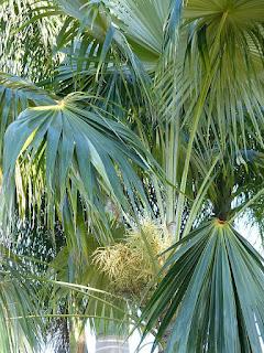Coccothrinax barbadensis - Latanier à balai