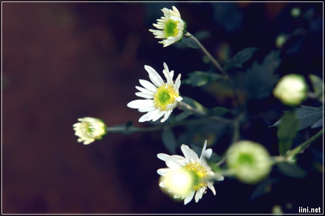Những cánh hoa cúc họa mi đẹp